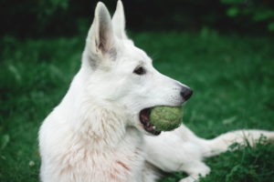 German Shepherd White Color