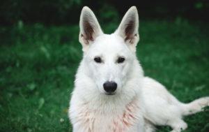 German Shepherd White Dog