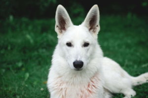 German Shepherd White Dog
