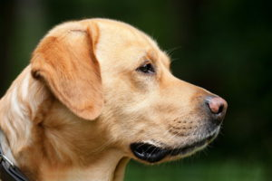 Golden Labrador Photos