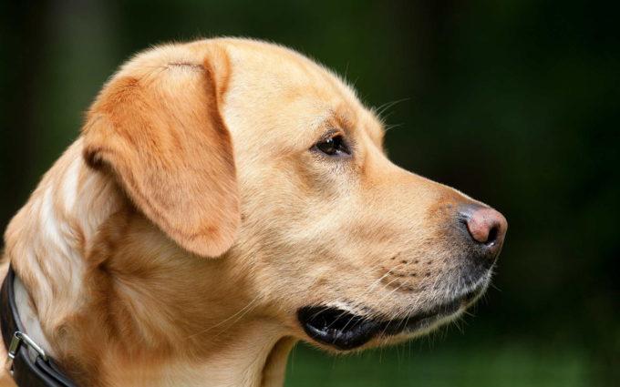 Golden Labrador Photos