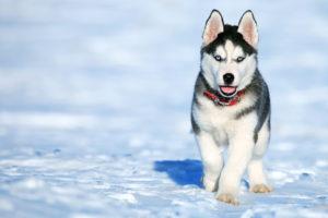 Husky Pics