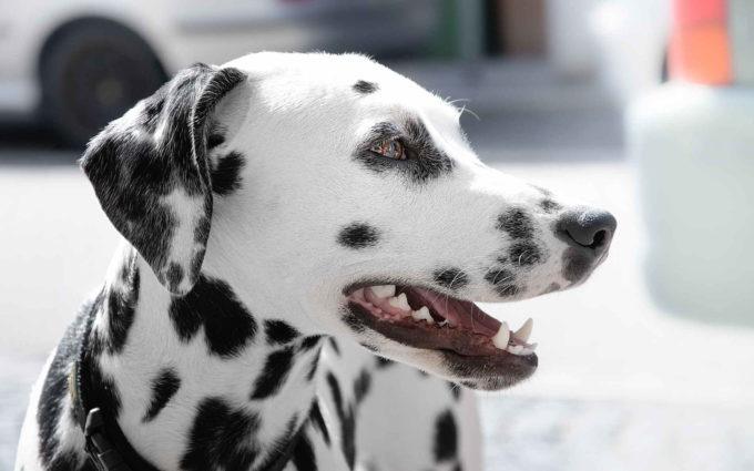 Image Of Dalmatian Dog