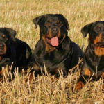 Images Of Rottweiler Dogs