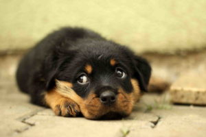 Images Of Rottweiler Puppy