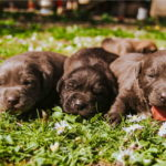 Images of Labradore Puppies
