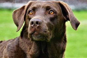 Lab Dog Images Free Download