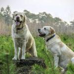 Lab Dog Pics