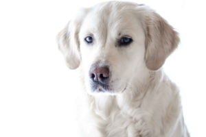 Lab Dog White