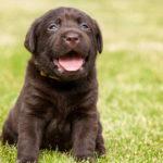 Lab Puppy Black