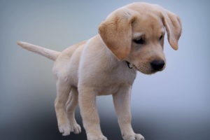 Lab Puppy Images