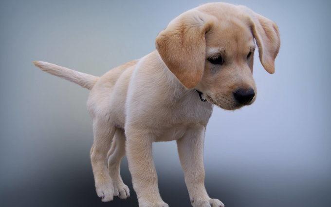 Lab Puppy Images