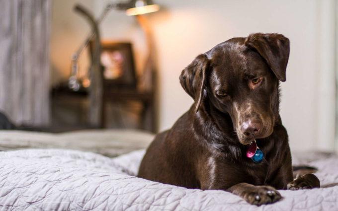 Labradore Dog Images Free Download