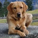 Labradore Dog Images Wallpaper