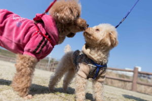 Miniature Poodle Images