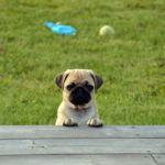 Photos Of Pug
