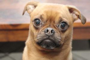 Photos Of Pug Puppies