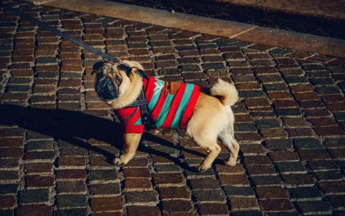 Pics Of Pug