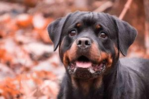 Pics Of Rottweiler Dog