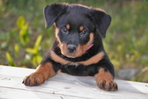 Pics Of Rottweiler Puppies