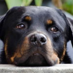 Picture Of Rottweiler Dog
