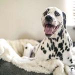 Pictures Of Dalmatian