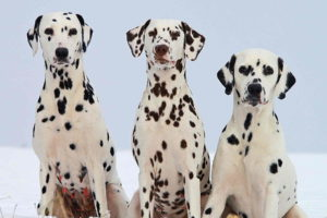 Pictures Of Dalmatians