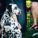 Pictures Of Dalmatians Dogs