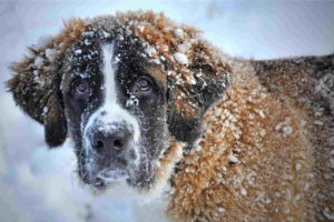 Pictures Of Saint Bernard