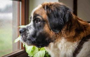 Pictures Of Saint Bernard Dogs