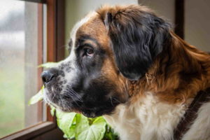 Pictures Of Saint Bernard Dogs