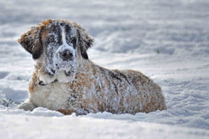Pictures Of St Bernard