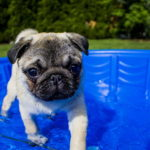 Pictures of Pug Puppies