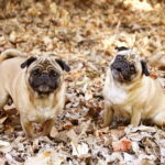 Pictures of Pugs Puppies