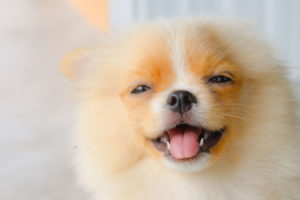 Pomeranian Puppies Images
