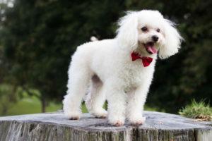 Poodle Images