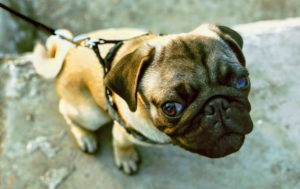 Pug Cute