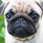 Pug Dog Images Download