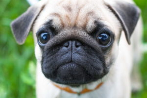 Pug Dog Images Download