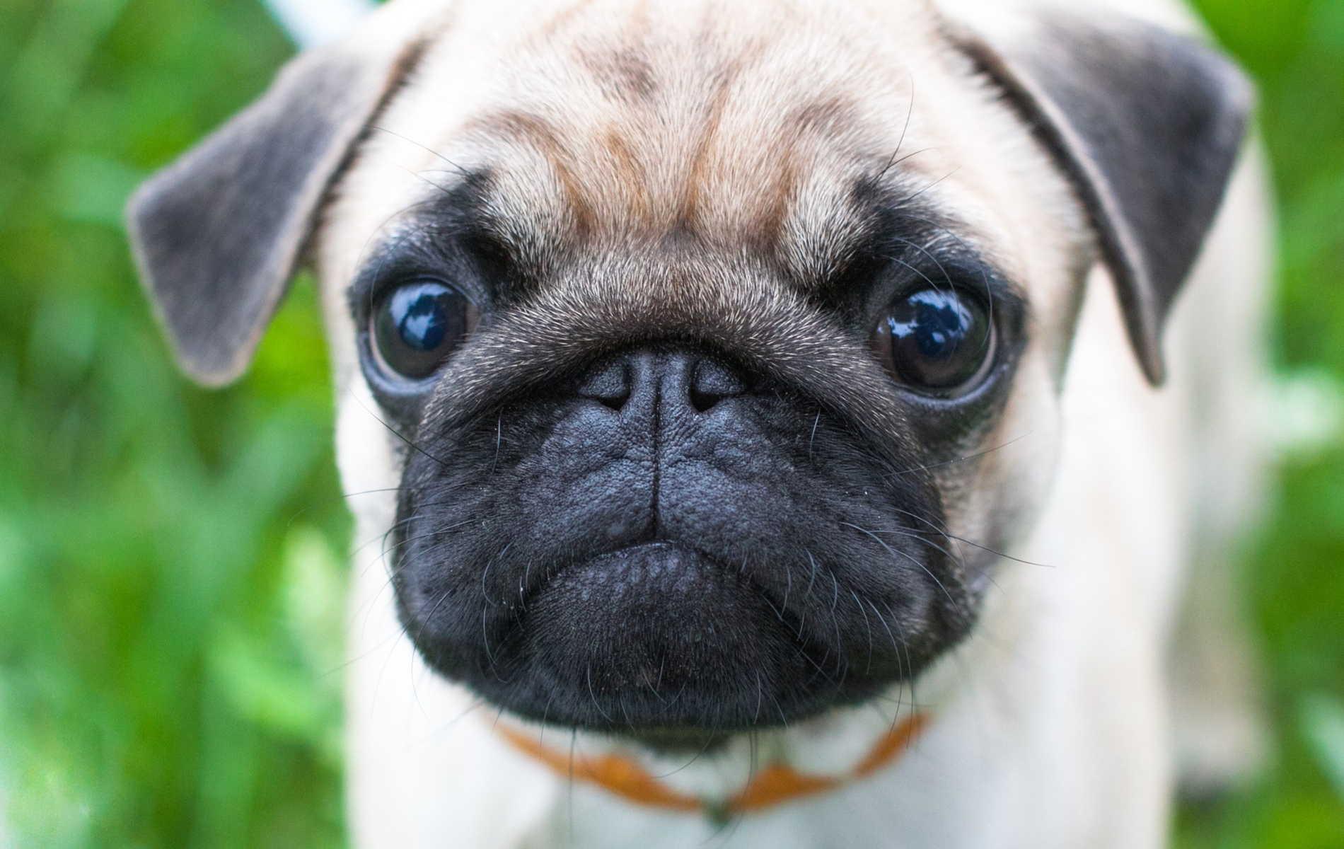 Pug Dog Images Download Forever Wallpapers