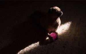 Pug Images Dog