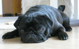 Pug Pictures Cute