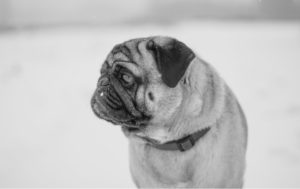 Pug Pictures To Print