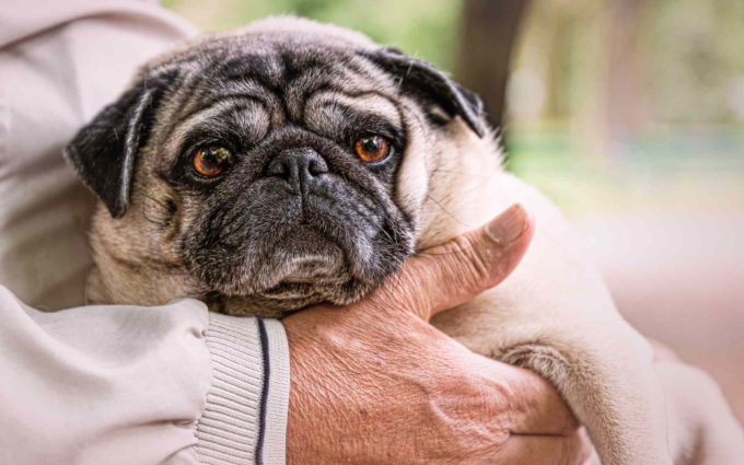 Puppies Of Pug