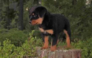 Rottweiler Baby Dog