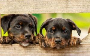 Rottweiler Dog Pics