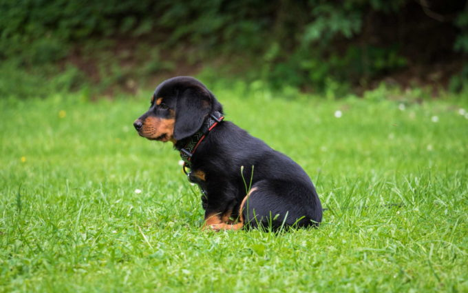 Rottweiler Puppy Images