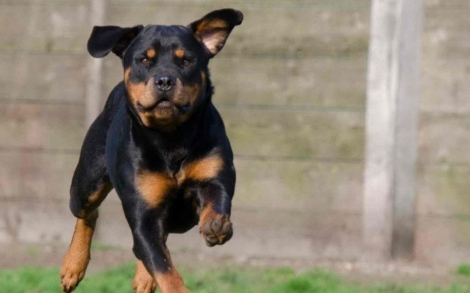 Rottweiler Puppy Photo