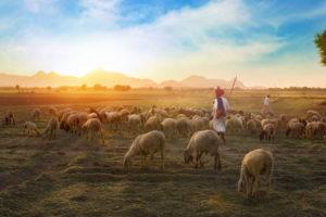 Sheep Eating