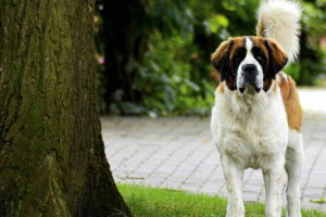 St Bernard Short Hair
